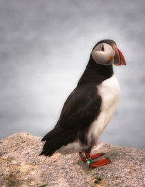Atlantic Puffin, Tagged by Debra  Carr Brox