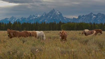 Horses Near Tetons, Wyoming by Debra  Carr Brox