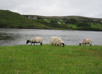 Wild Irish Sheep by Azzurra Di Pietro
