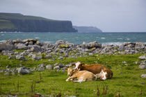 Cow and calf in a pasture near Doolin, County Clare, Ireland by kbhsphoto