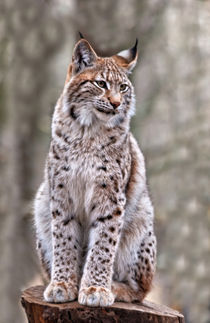 'Luchs' by Wolfgang Dufner