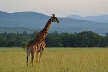 Giraffe in freedom by Felicia Carnelius