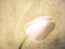 White Tulip by Fiona Messenger
