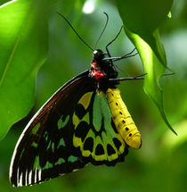 Cairns Birdwing Butterfly 3 von Margaret Saheed