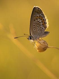 Butterfly von Odon Czintos