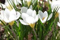 Krokus by flora