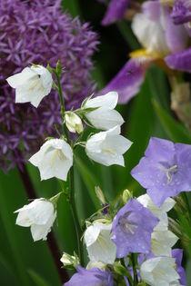 Pfirsichblättrige Glockenblume by flora