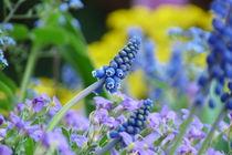 Traubenhyanzinthe by flora