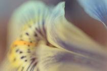 Iris Breath by leavesnbloom