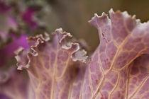 decorative cabbage leaf von studioflara