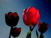 Leucht-Tulpe by Christine  Hofmann