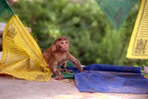 Baby-monkey-playing-on-prayer-flags-swayambhu-steps-04