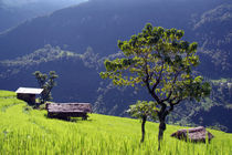 Bright Green Rice Field Nepal by serenityphotography