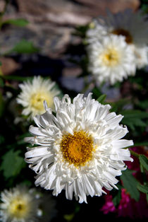 Daisies in Pisang by serenityphotography