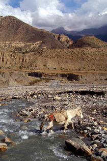 Horse-crossing-river-near-jomsom