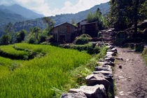 Rice Fields by the Path to Ghorepani von serenityphotography