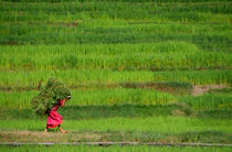 Woman Harvesting Crops near Bhaktapur by serenityphotography