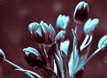 Brown Turkis Tulips von captainsilva