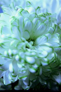 White Chrysanthemum von Elizabeth  Wilson