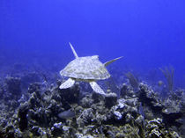 Green Turtle Swimming by serenityphotography