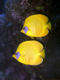 Pair of Yellow Butterflyfish von serenityphotography