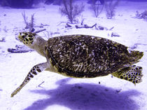 Swimming Hawksbill Turtle by serenityphotography