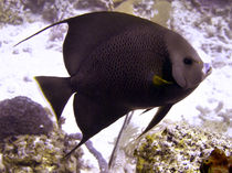 Black Angelfish From Side von serenityphotography