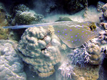 Blue Spotted Ray Feeding by serenityphotography