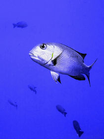 Bigeye Emperor Fish by serenityphotography