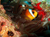 Clownfish-in-hiding