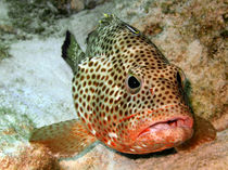 Coral-grouper-being-cleaned-4