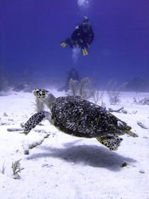 Divers-watching-hawksbill-turtle