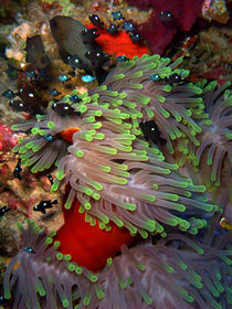 Domino Damselfish in Anemone by serenityphotography
