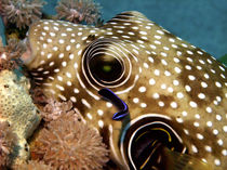 Stars and Stripes Pufferfish Being Cleaned by serenityphotography