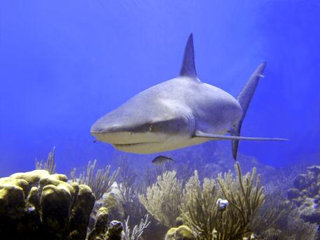 Shark-swimming-into-shot
