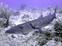 Barracuda by serenityphotography