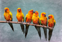 Sun Conures by Louise Heusinkveld
