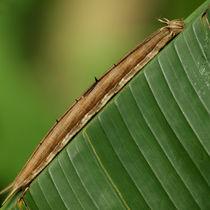 Schmetterlinge: Raupe des Bananenfalters (Owl Worm) von Dagmar Laimgruber