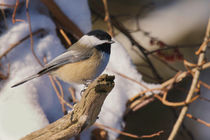 Black-Capped Chickadee in Winter by Debra  Carr Brox