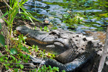 American Alligator by Pier Giorgio  Mariani