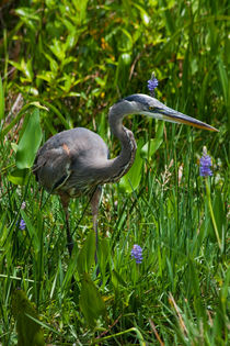 Great Blue Heron by Pier Giorgio  Mariani