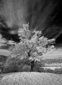 Snowy Tree by Nigel Forster