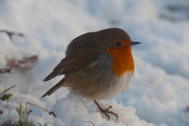 Robin in Snow von Nigel Forster