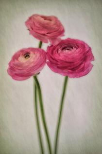 Ranunkel by Susann Mielke