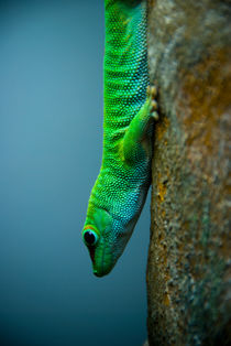 Gecko by Sebastian Luedke