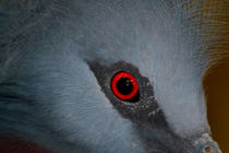 Victoria Crowned Pigeon Eye by serenityphotography