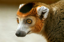 Male Crowned Lemur by serenityphotography