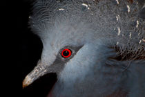 Victoria Crowned Pigeon by serenityphotography