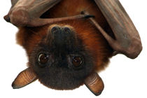 Little-red-flying-fox-20