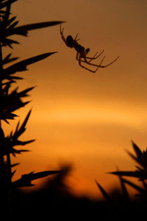 Sunset Spider by serenityphotography